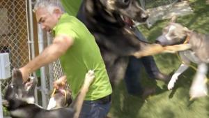 Cesar stops pit bull german shepherd fight