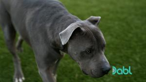 Close Up Of Pit Bull