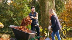Couple rakes Autumn Leaves
