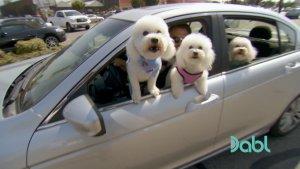 Crazy bichons in car window