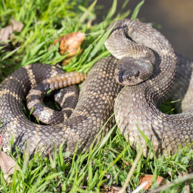 Snake in grass