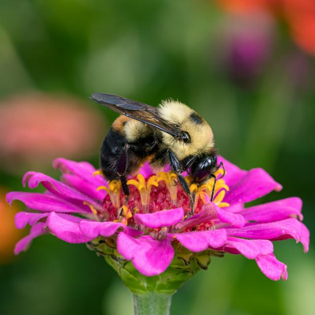 Bumble bee on a pink flower