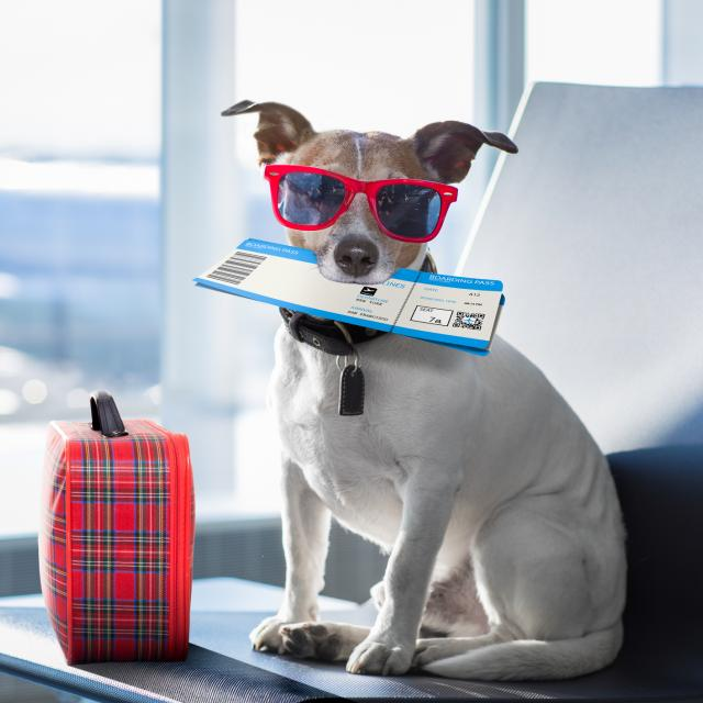 Dog in sunglasses and boarding ticket waits to board his flight
