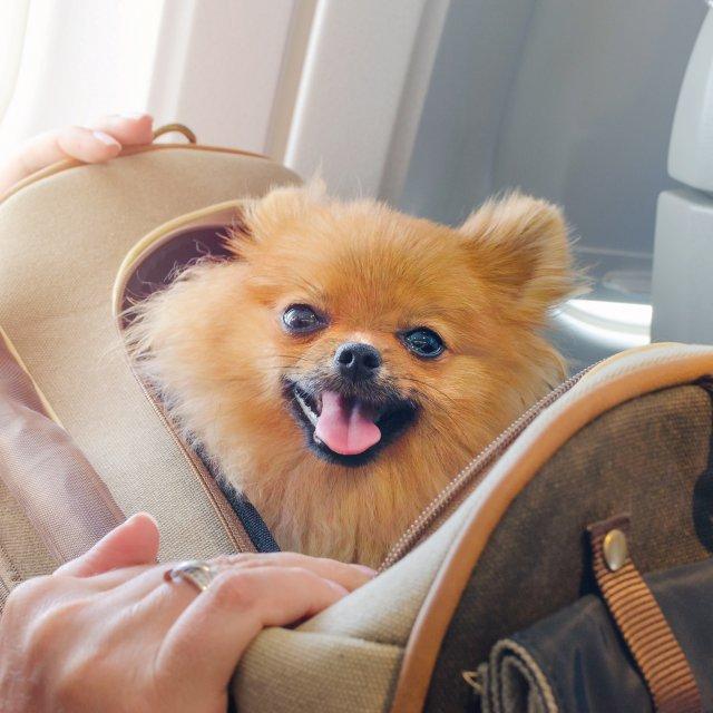 Little Pomeranian Dog on Airplane